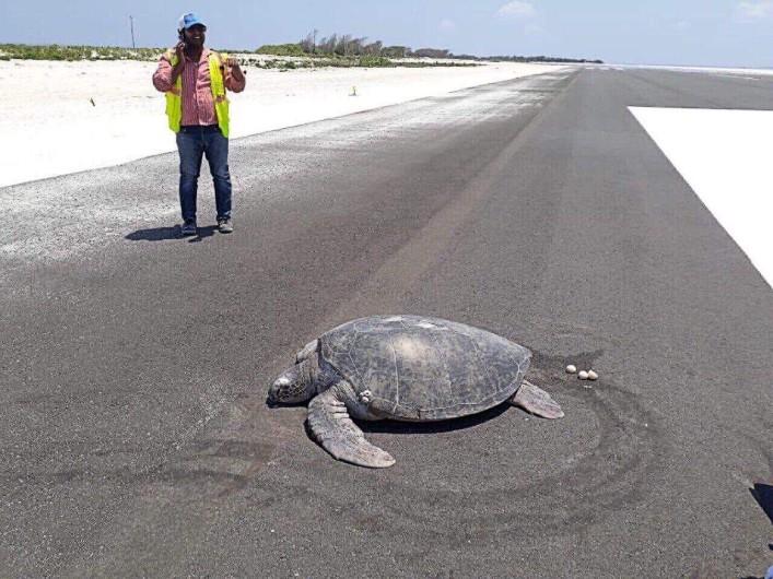 Biodiversité : une tortue pond sur sa plage natale… devenue une piste d'atterrissage