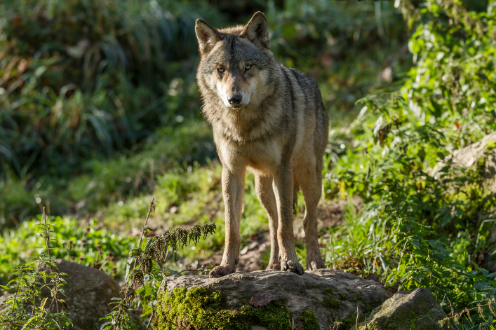 Bonne Nouvelle La Population De Loups Continue A Progresser En France