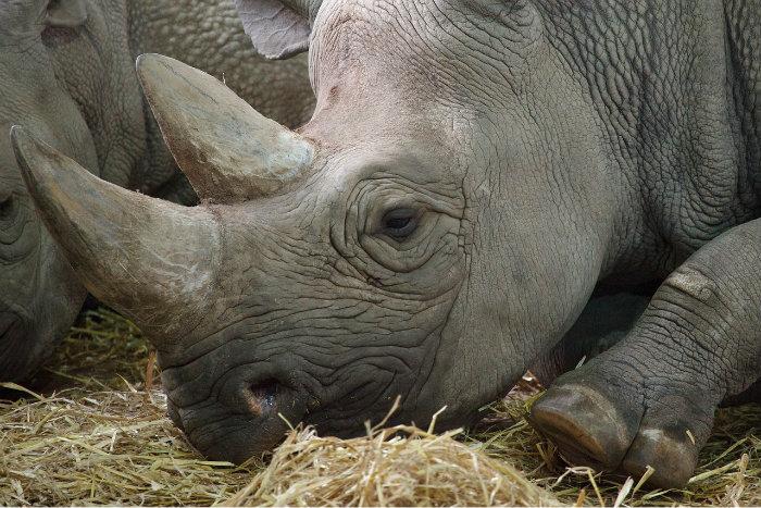 le principal leveur de rhinoc ros vend des centaines de. Black Bedroom Furniture Sets. Home Design Ideas
