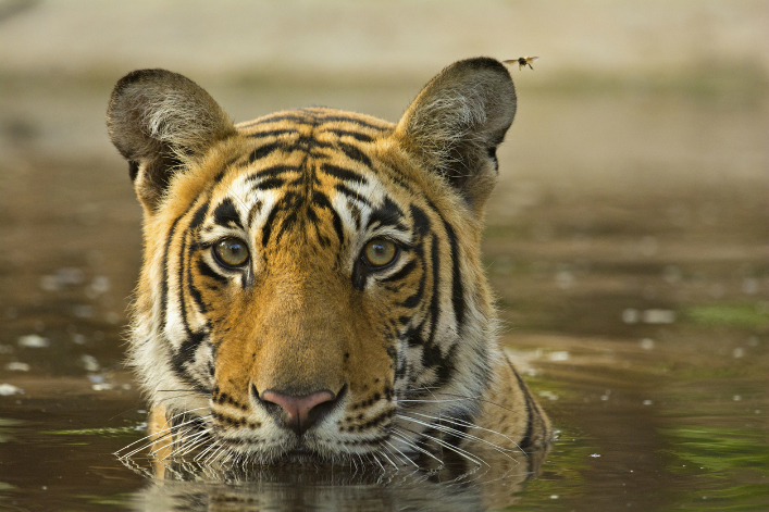 Envoyer un message privé Tigre-Inde-dickysingh