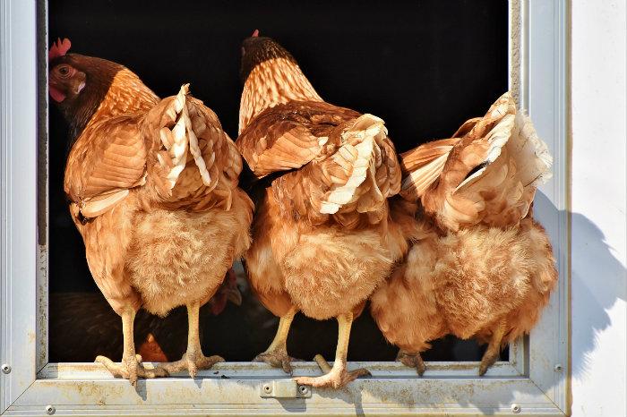 Poulehouse, la marque d'œufs qui sauvent les poules de l'abattoir, séduit la grande distribution